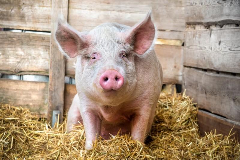Отечная болезнь у свиньи