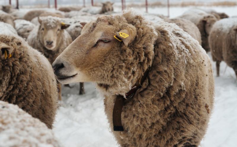 Ташлинские овечки на выгуле