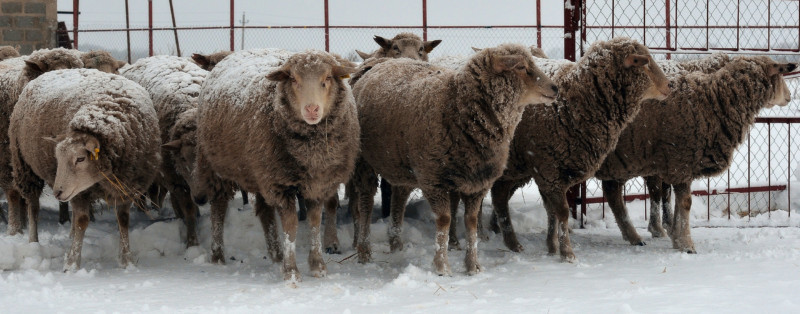 Ташлинские овечки на снегу