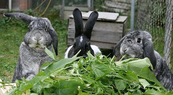 Три кроля едят зелень
