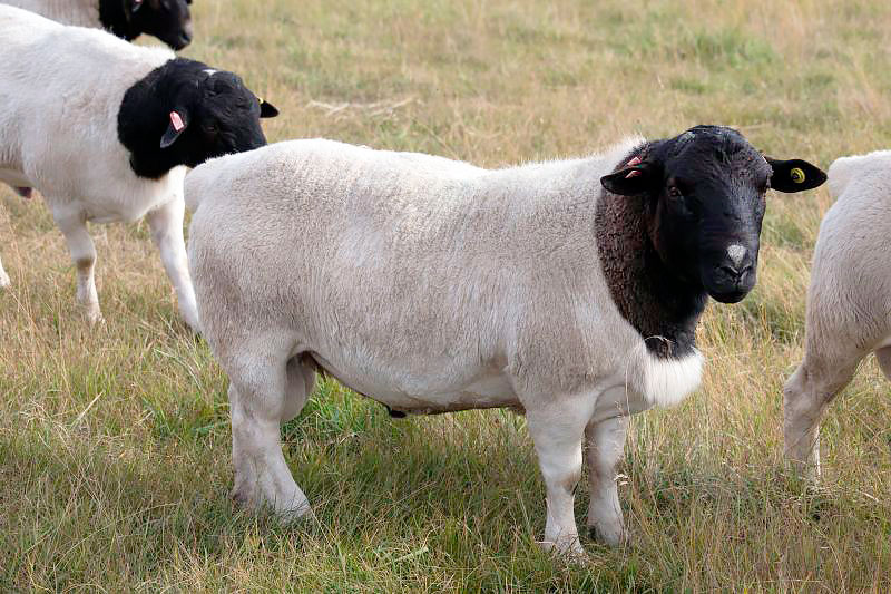 Дорперские овечки на выгуле