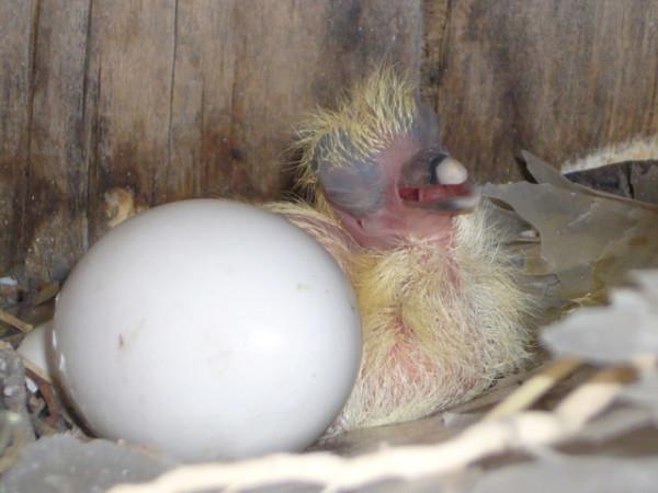 Птенец голубя рядом с яйцом