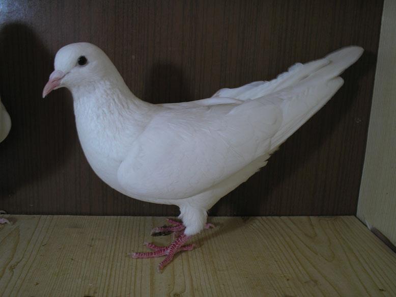 Иранский голубь белого цвета