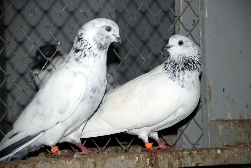 Пакистанские голуби смотрят друг на друга