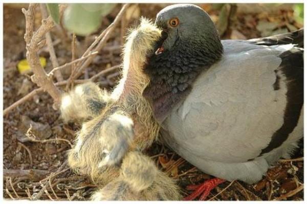 Голубка кормит голубят