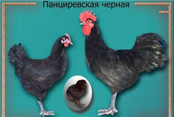 Панциревские куры черного окраса