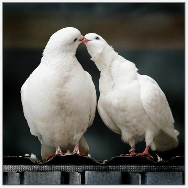 Два голубка белого цвета
