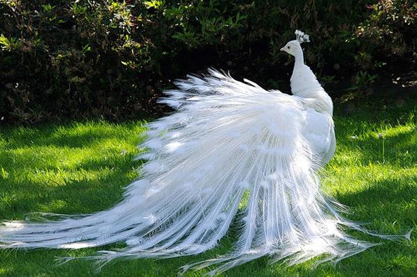 Белый павлин с красивым хвостом