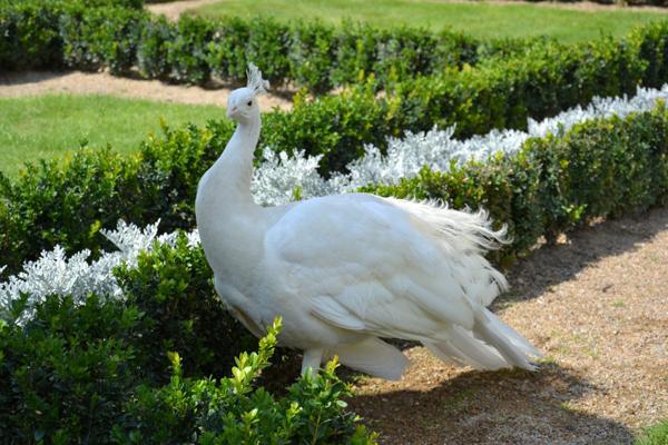 Молодой белый павлин на прогулке