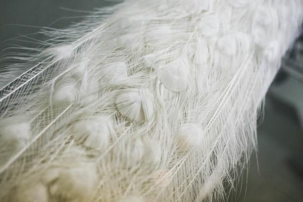 Оперение белого павлина крупным планом