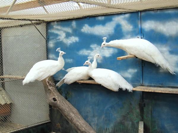 Семья белых павлинов