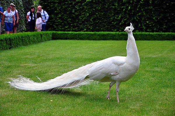 Белый павлин в зоопарке