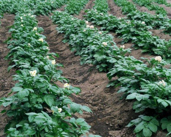 Удобрение картофеля перепелиным пометом