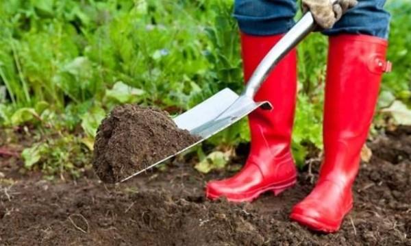 Огородник разбрасывает удобрение лопатой