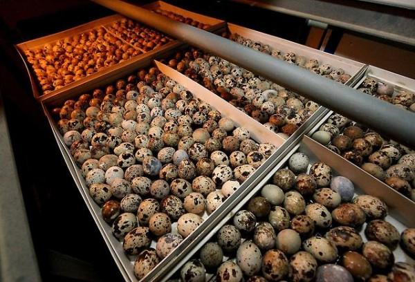 Подготовленные для инкубации яйца перепелов