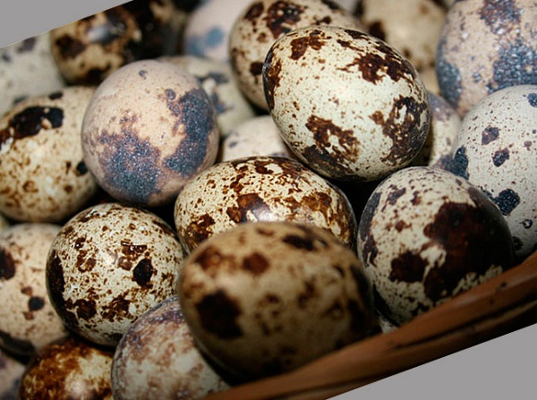 Яйца перепелок крупным планом