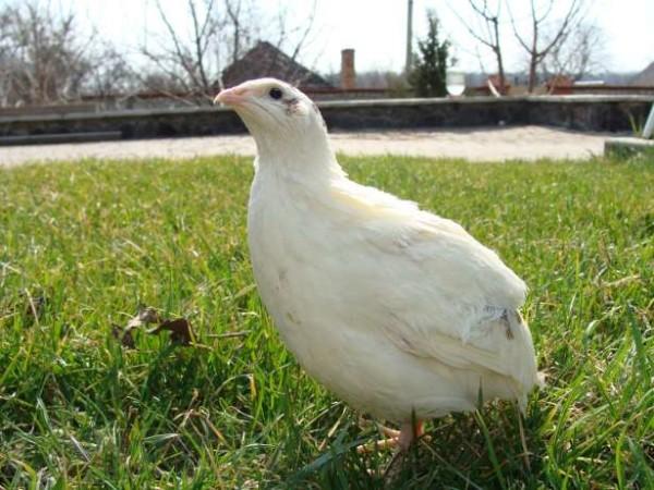 Английский белый перепел в траве