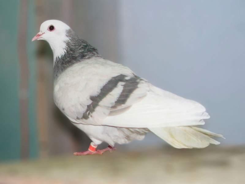 Птица Пермской породы