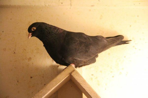 Пермский голубь