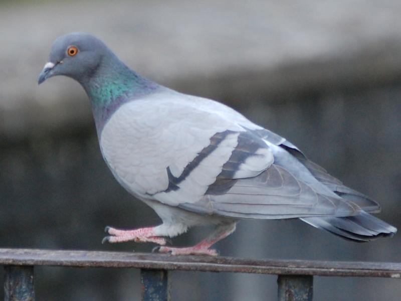 Сизый голубь на перилах
