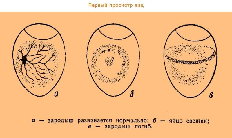 Первый просмотр яиц