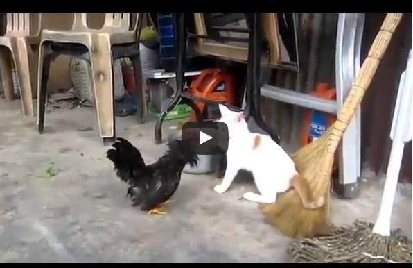 Петух дерётся с котом