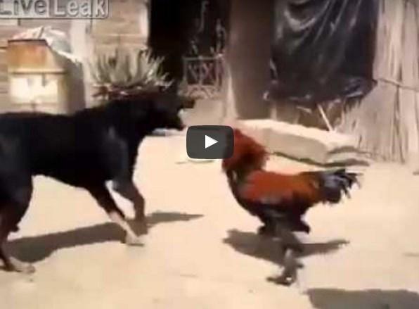 Петух дерётся с собакой
