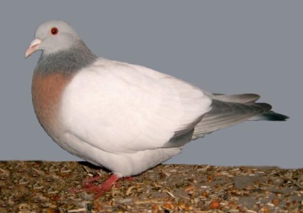 Отдельный вид бурого голубя