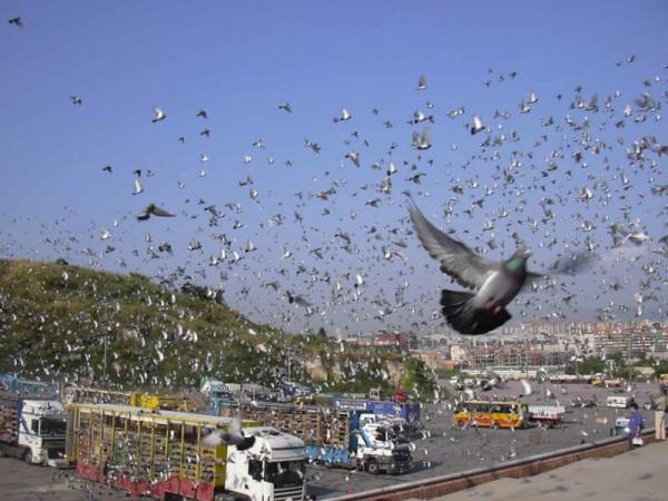 Гонки голубей
