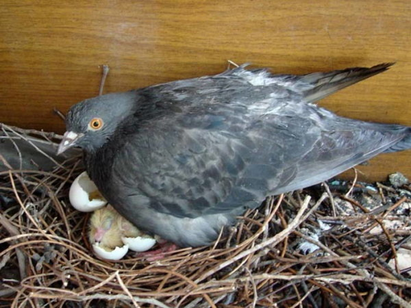 Голубка в гнезде и вылупленные птенцы