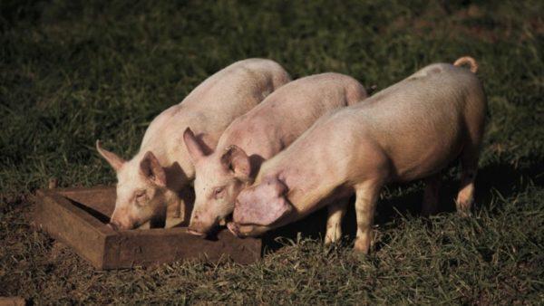 Свинки подкрепляются во время выгула