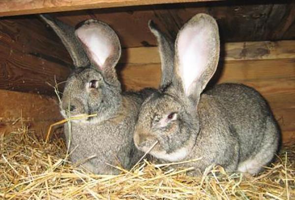 Два серых кролика
