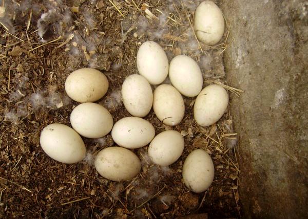 Яйца индоуток на полу