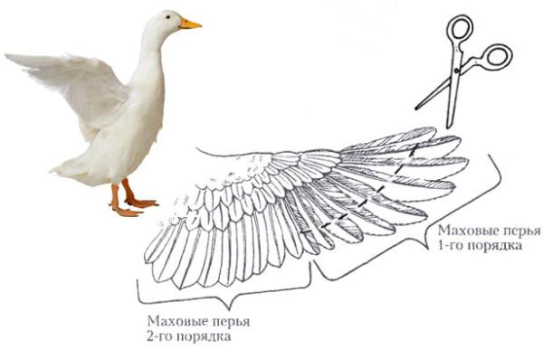 Схема подрезки перьев
