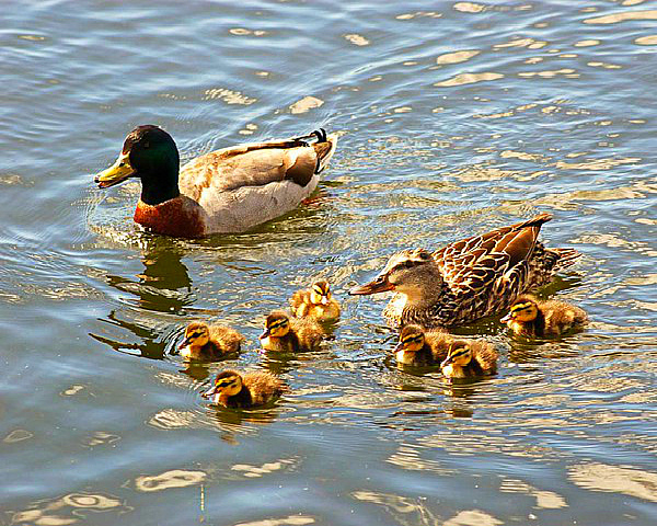 Утиное семейство на пруду
