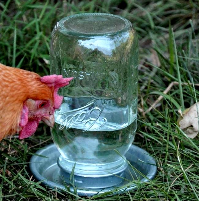 Курица рядом с вакуумным поильником на траве