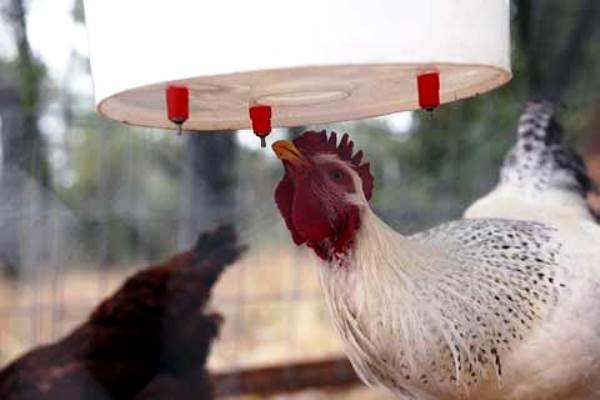 Курица пьет воду из ниппельной поилки