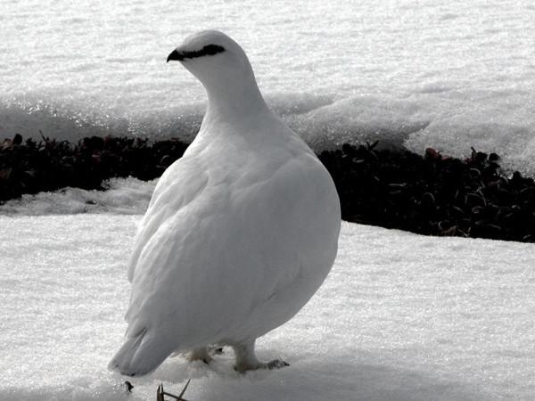 Полярная порода на снегу