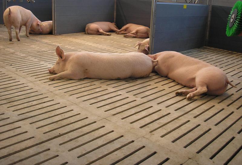 Поросята отдыхают на полу