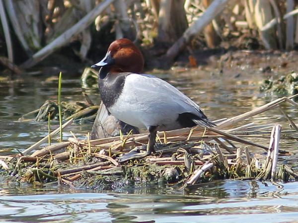 Утка в гнезде на озере