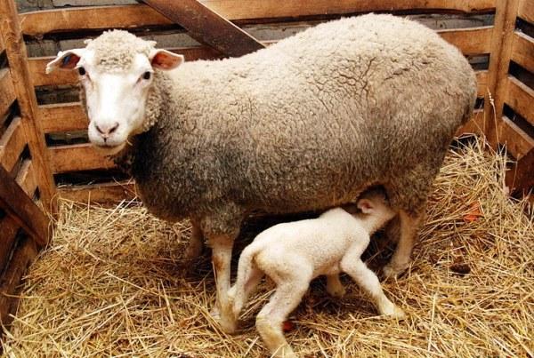 Овечка и ягненок мясной породы прекос