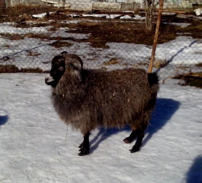 Придонская коза