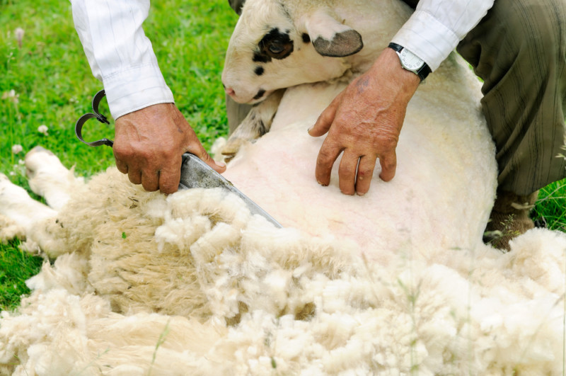 Процедура состригания шерсти