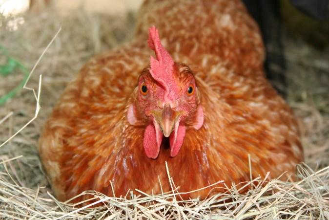 Курица Тетра в гнезде крупным планом