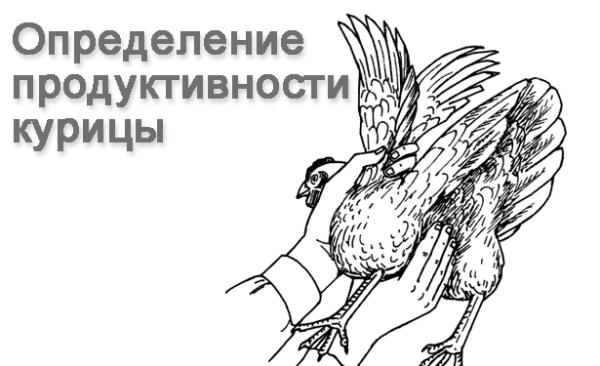 Измерение расстояние между лонными костями курицы