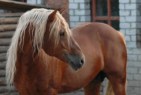 Молодой конь рыжего окраса