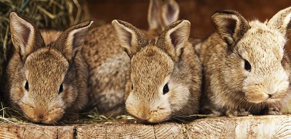 Молодые кролики крупным планом