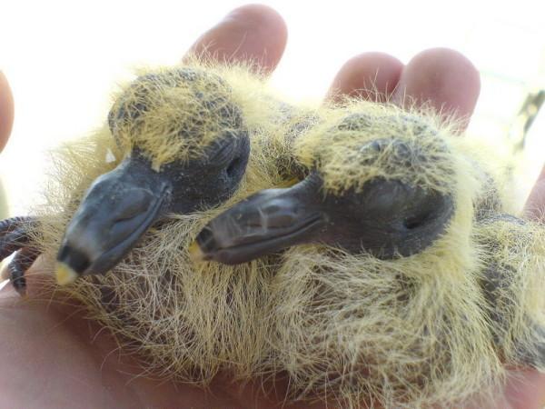 Новорожденные птенцы голубей