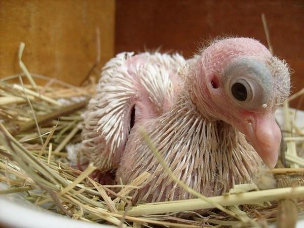 Новорожденный голубенок