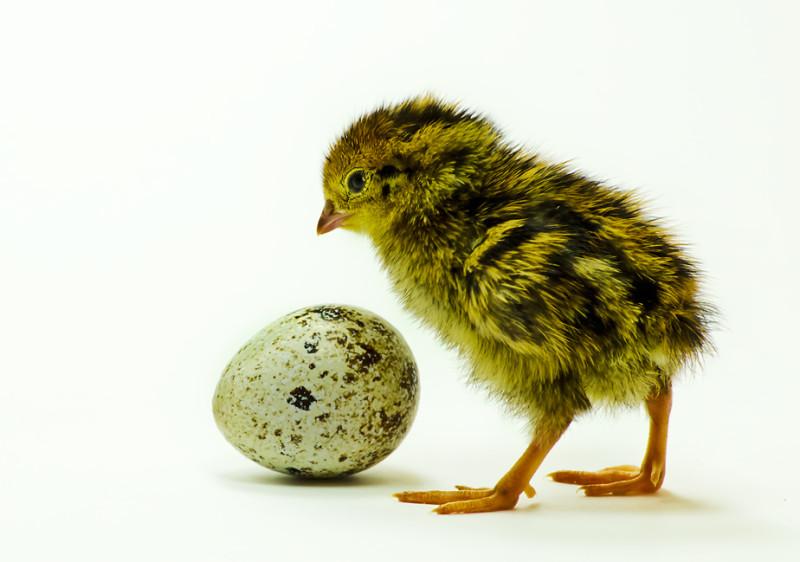 Птенчик и яичко
